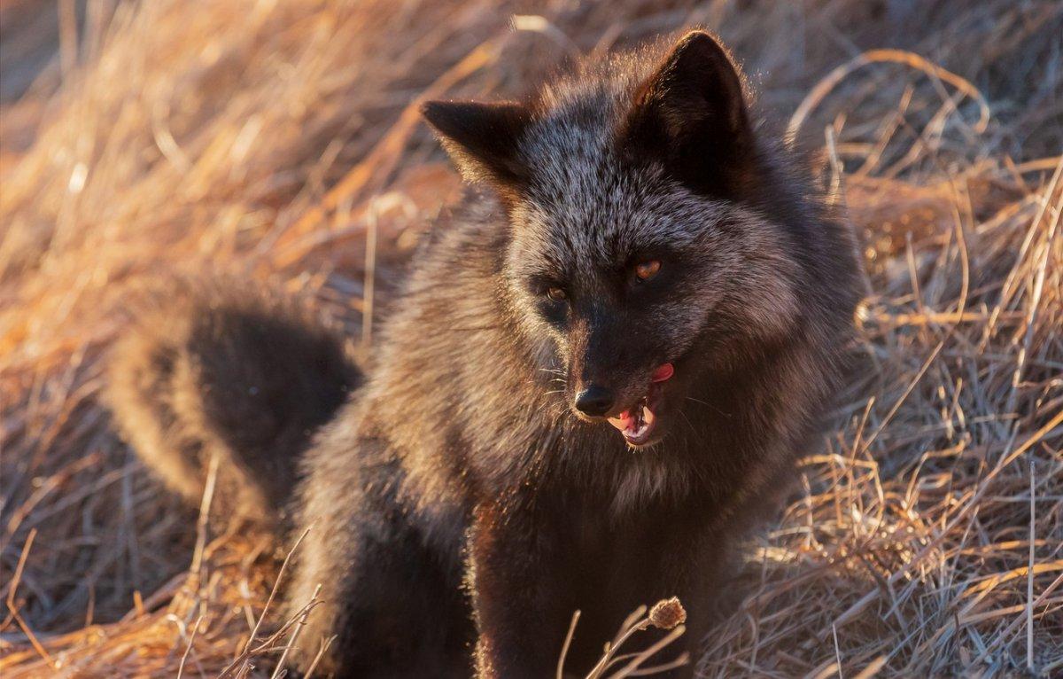 Черный лис